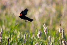 подогнали красный цвет полета кукушкы, котор Стоковая Фотография RF