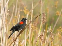 подогнали красный цвет phoeniceus кукушкы agelaius, котор Стоковое Изображение RF