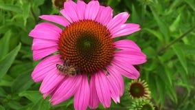 Подогнали пчела медленно летает к заводу, собирает нектар для меда на частной пасеке от цветка акции видеоматериалы