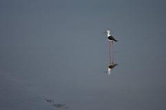 подогнали ходулочник птицы, котор черный Стоковые Фотографии RF