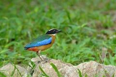 подогнали pitta птицы, котор голубое Стоковые Изображения
