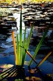 подоприте освещенные тростники Стоковая Фотография