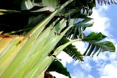 Подорожник банана с регулярн строками вен стоковое фото rf