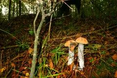 Подосиновик 2 апельсин-крышек растет в кладе под падением лист в лес стоковое фото rf