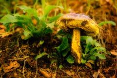 Подосиновик Астурия гриба между вегетацией в лесе стоковые изображения