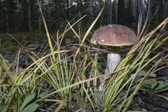 Подосиновик гриба в траве Стоковые Изображения