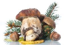 Подосиновик гриба на белой предпосылке Стоковое Изображение