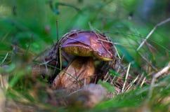 Подосиновик гриба растет в лесе Стоковое Изображение RF