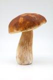 Подосиновик гриба edulis Стоковое фото RF