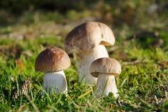 Подосиновик плюшки Пенни edulis в траве Стоковое Фото