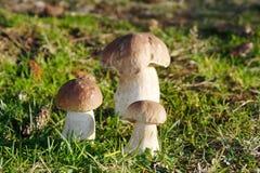 Подосиновик плюшки Пенни edulis в траве Стоковые Фотографии RF