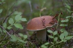 Подосиновик edulis в лесе лета Стоковое Изображение RF