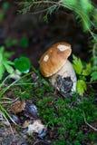 Подосиновик edulis в лесе Стоковые Изображения