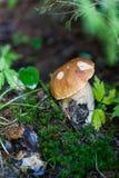 Подосиновик edulis в лесе Стоковое фото RF