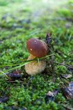Подосиновик edulis в лесе Стоковое Изображение RF