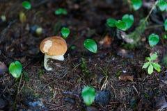 Подосиновик edulis в лесе Стоковые Фотографии RF