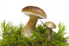 Подосиновик edulis, съестной гриб в мхе, белое backg Стоковое Изображение