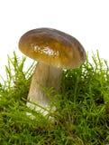Подосиновик edulis, съестной гриб в мхе, белое backgr Стоковые Изображения RF