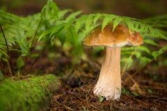 Подосиновик edulis - съестной гриб Стоковые Изображения