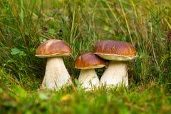 Подосиновик edulis, съестной гриб Стоковые Изображения RF