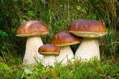 Подосиновик edulis, съестной гриб Стоковая Фотография