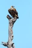 подпертая белизна хищника Стоковые Фото