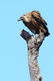 подпертая белизна хищника Стоковая Фотография