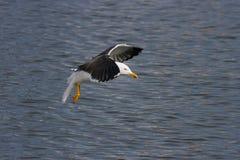 подпертая черная чайка меньшие Стоковая Фотография RF