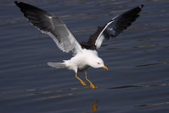 подпертая черная чайка меньшие Стоковое Изображение