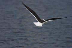 подпертая черная чайка меньшие Стоковая Фотография