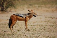 подпертые черные mesomelas jackal canis Стоковое фото RF
