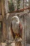 Подпертый красным цветом орел моря стоковое изображение