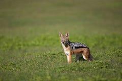 подпертый черный jackal Стоковое фото RF
