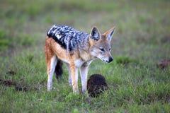 подпертый черный jackal Стоковое Изображение