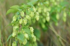 Подпрыгните с конусом, листьями с зернами на деревянном Процесс созревания солода стоковые фотографии rf