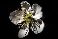 Подрежьте xlose цветения вверх сильно сравненное с землей задней части черноты стоковое фото