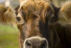 Подрезанная головка коровы стоковое изображение rf