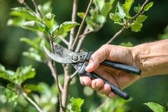 Подрезать деревьев с секаторами Стоковое Изображение
