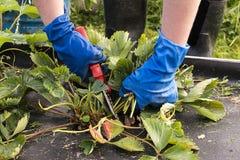 Подрезая ростки клубники в саде стоковое фото