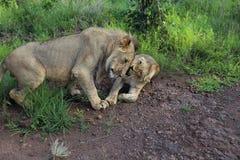 Подростковые львы нюхают Snuggle в национальном парке Hwage, Зимбабве стоковое изображение