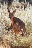 Подсвеченное фото одичалых молодых кенгуру или joey в злаковике Стоковое Фото