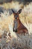 Подсвеченное фото одичалых молодых кенгуру или joey в злаковике Стоковые Изображения