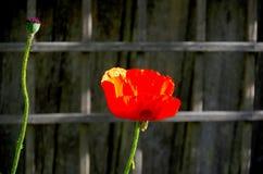 Подсвеченные, гениальные красные восточный мак и семя возглавляют Стоковое фото RF