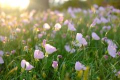 Подсвеченные первоцветы одичалого пинка Стоковое Изображение
