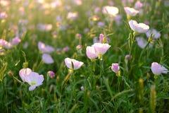 Подсвеченные первоцветы одичалого пинка Стоковая Фотография