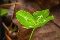 Подсвеченный клевер макроса 4-Leaf стоковое изображение