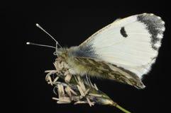 подсказка бабочки померанцовая Стоковые Изображения RF