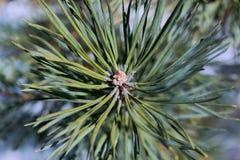 Подсказка ветви сосны или елевого коричневого цвета с зелеными иглами вокруг стоковое изображение rf