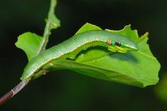 подсказка гусеницы бабочки померанцовая Стоковые Фото