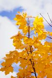 Подсказка дерева клена показывая желтый цвет выходит против пасмурного голубого неба Стоковое Изображение